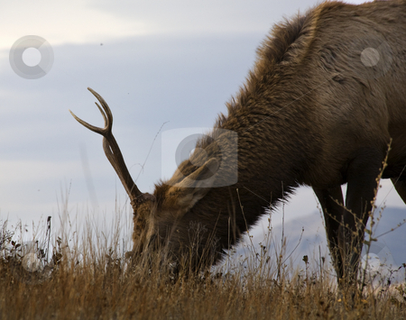Young Male Elk Grazing National Bison Range Charlo Montana stock photo, Young Male Elk with Horns Eating Grass Grazing National Bison Range Charlo Montana by William Perry