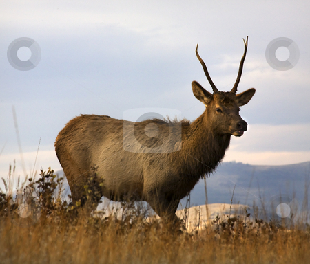 Young Male Elk National Bison Range Charlo Montana stock photo, Young Male Elk with Horns National Bison Range Charlo Montana by William Perry