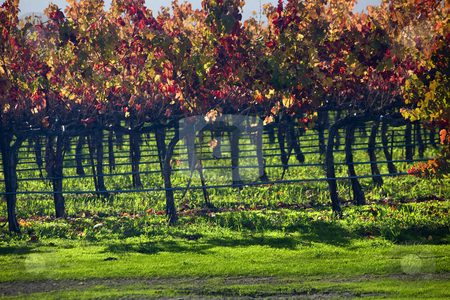Red Wine Vine Leaves Fall Vineyards Napa California stock photo, Red Wine Yellow Vine Leave Fall Vineyards Green Grass Napa California by William Perry