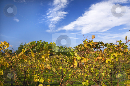 Vineyards Fall Blue Sky Napa California stock photo, Napa Vineyards Fall Blue Sky Clouds California by William Perry
