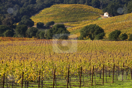 Yellow Vines Leaves Vineyards Fall White Farmhouse Napa Californ stock photo, Yellow Vines Leaves Vineyards Fall White Farmhouse NapaCalifornia by William Perry