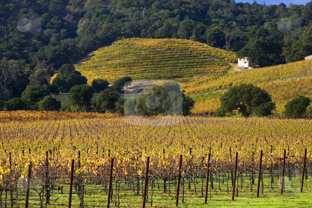 Yellow Vines Green Trees Hills Vineyards Fall White Farmhouse Na stock photo, Napa Vineyards in the Morning Fog California by William Perry