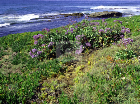 Succulents and lavender flower field along the ocean coast stock photo, Colorful spring flowers along a lush pacific coastline by Jill Reid