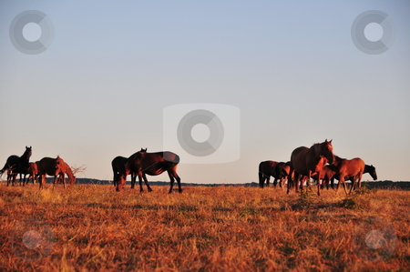 Horses in field  stock photo, Grazing horses in field, Bulgaria, Europe by Zheko Zhekov