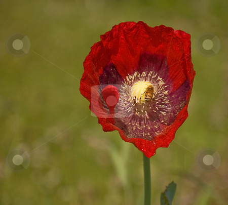 Stunning Red Poppy With Bee stock photo, This honeybee is pollinating one stunning red colored poppy flower.  Flower also shows detail of pollen dust and raindrops. by Valerie Garner