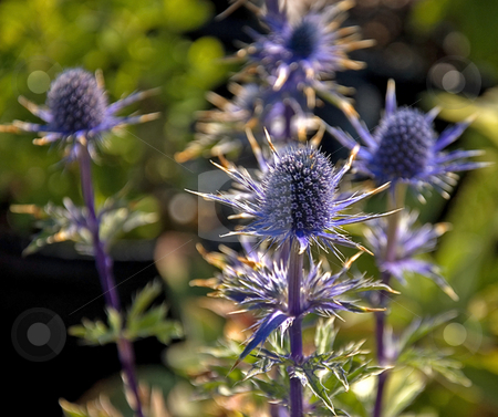Electric Blue Sea Holly Plant stock photo, This plant is an electric blue sea holly of the thistle family, stunning and rare. by Valerie Garner