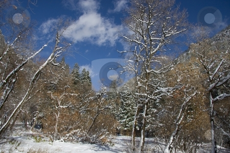 Winter stock photo, View of pine trees right after a snow storm  with deep blue sky's by Mark Smith