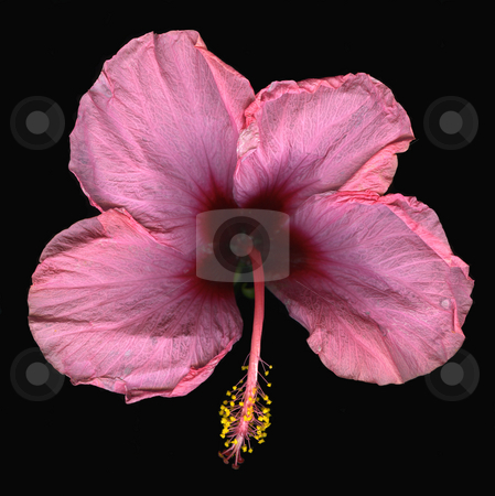 Pink Candy  stock photo, Bird's eye view of pink candy hibiscus isolated on black background by Christian Slanec