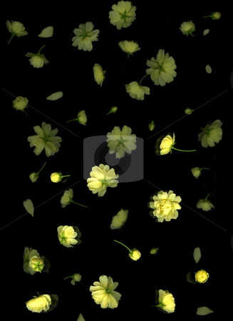 Spring Petals stock photo, Yellow rose petals floating on black background by Christian Slanec