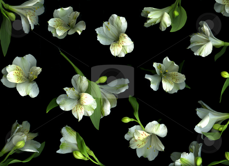Harmony stock photo, White freesia blossoms isolated on black background by Christian Slanec