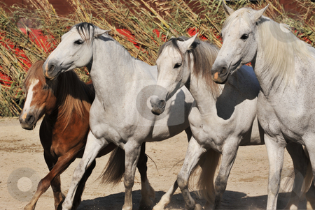 Horses and pony stock photo, Three white horses and one brown pony together by Bonzami Emmanuelle