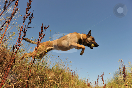 Jumping malinois stock photo, Portrait of a jumping purebred belgian shepherd malinois by Bonzami Emmanuelle