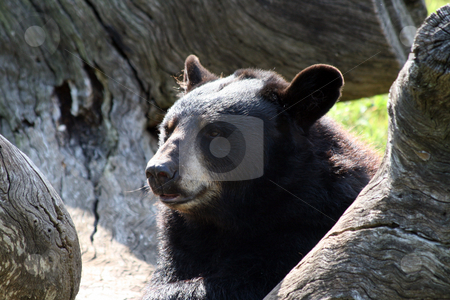 Bear stock photo, An adult bear resting on a tree. by Brandon Seidel