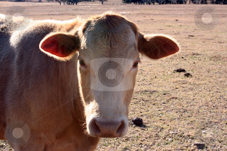 Cow stock photo, A tan cow grazing on a farm. by Brandon Seidel