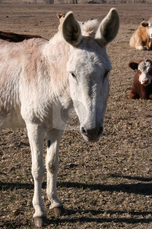 Donkey and Cows stock photo, A donkey on a farm.  There is a herd of cows in the background. by Brandon Seidel