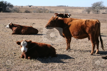 Cows stock photo, A herd of cows grazing and sitting on a farm. by Brandon Seidel