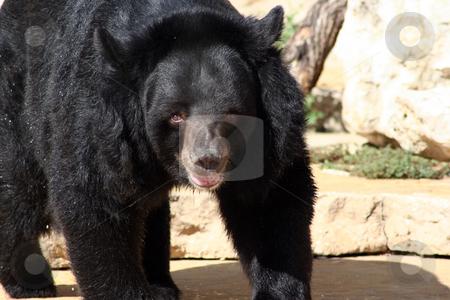 Black Bear stock photo, A black bear in the zoo walking closer. by Brandon Seidel
