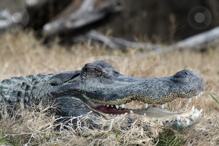 Alligator stock photo, An alligator head close up in the wild by Brandon Seidel