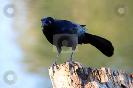 Black Bird on a Tree Stump stock photo, Black Bird on a Tree Stump by Brandon Seidel