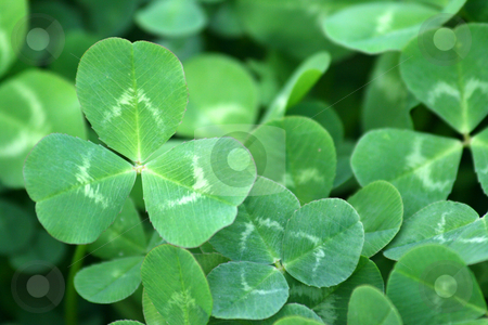 Green clover patch stock photo, A background of a green clover patch close-up by Brandon Seidel