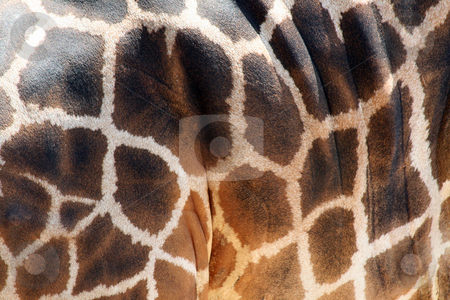 Giraffe Skin Pattern stock photo, An adult giraffe's skin.  Great color and detail. by Brandon Seidel