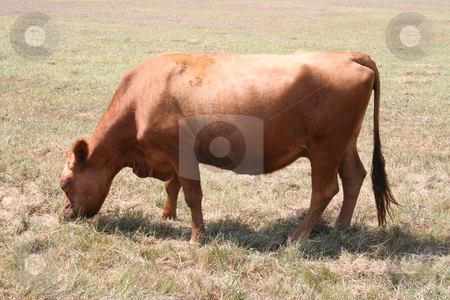 Cow stock photo, A red cow grazing on a farm. by Brandon Seidel