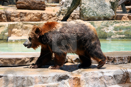 Bear stock photo, An adult bear coming out of the water. by Brandon Seidel