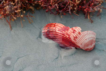 Broken Sea Shell stock photo, A broken red sea shell on the beach next to some sea weed. by Brandon Seidel
