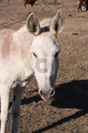 Donkey stock photo, A donkey on a farm. by Brandon Seidel