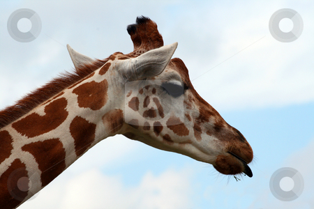 Giraffe Tongue stock photo, An adult giraffe with his tongue out.  Great color and detail.  Will make awesome prints. by Brandon Seidel