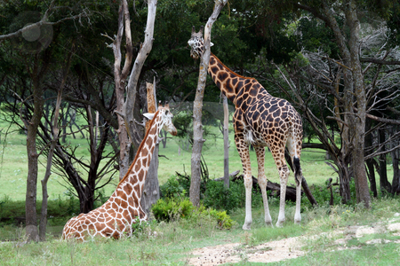Giraffes stock photo, Two adult giraffes.  Great color and detail.  Will make awesome prints. by Brandon Seidel