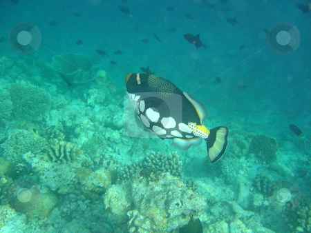 Clown Triggerfish stock photo,  by Jack Richardson