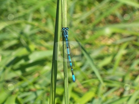 Electric Dragonfly stock photo,  by Jack Richardson