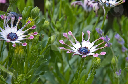African Daisy Flower stock photo, This delicate flower is an African Daisy and it's petals are spoon shaped for a truly unique blossom. by Valerie Garner