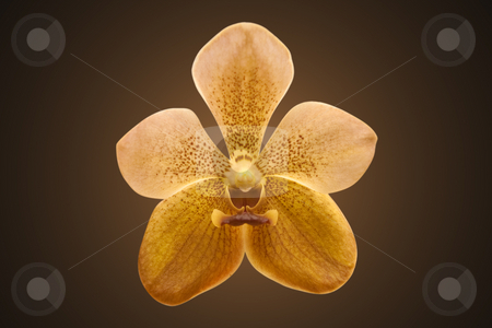 Single Golden Orchid stock photo, Single golden orchid, isolated on dark background with clipping path by Steve Carroll