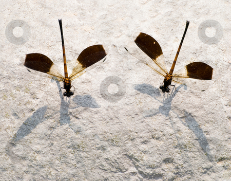 Two damselfly, Endemic species stock photo, Two damselfly rest on one stone, endemic species (Euphaea formosa) of Taiwan, east Asia by Lawren