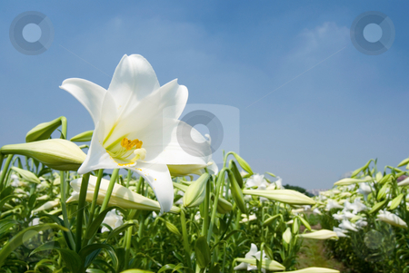 White lily stock photo, White lily in the field by Lawren