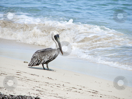 Pelican on beach ready to wade into ocean stock photo, A pelican on the beach in St. Thomas about to wade into the water by Annette Davis