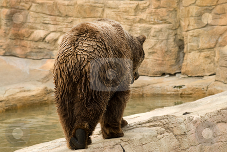Brown Bear stock photo, An an adult brown bear casually walks away from the camera by Richard Nelson