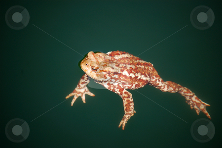 Swimming toad stock photo, A Toad is Swimming in a lake by ALESSANDRO TERMIGNONE