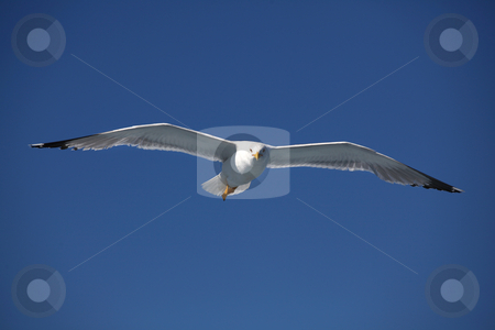 Seagull stock photo, Seagull flying over the mediterranean sea by Amvrossios Bitloglou