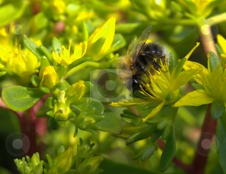 Honeybee stock photo,  by Turo Jantunen