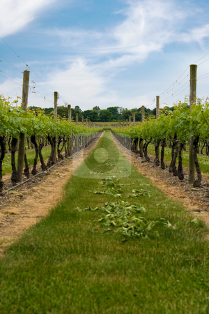 Vineyard stock photo, Long row of grape vines planted in the fields of a vineyard. by Todd Arena