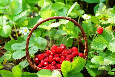 Wild strawberry stock photo, Wild strawberry stand in basket  on soil by Jolanta Dabrowska