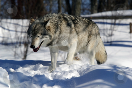 Gray Wolf stock photo, Close-up portrait of a gray wolf in Winter by Alain Turgeon