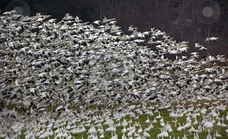Thousands of Snow GeeseTaking Off and Flying  stock photo, Thousands of Snow Geese Taking Off and FlyingWhen snow geese see or hear a threat, they all take off together by William Perry