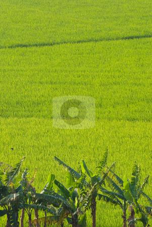 Green field, Aisa stock photo, Green field, Asia paddy field by Lawren