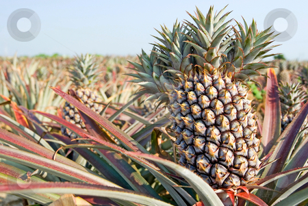 Pineapple, tropical fruit stock photo, The farm of pineapple, tropical fruit by Lawren