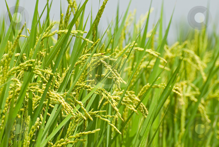 Paddy rice harvest stock photo, Mature paddy rice. Rice is the main food of Asian. by Lawren