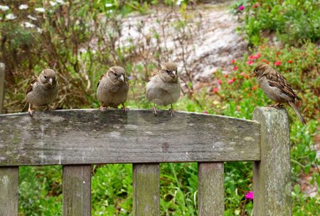5 sparrows on a park seat looking for food. stock photo, 4 sparrows on a park seat looking for food. by Stephen Rees